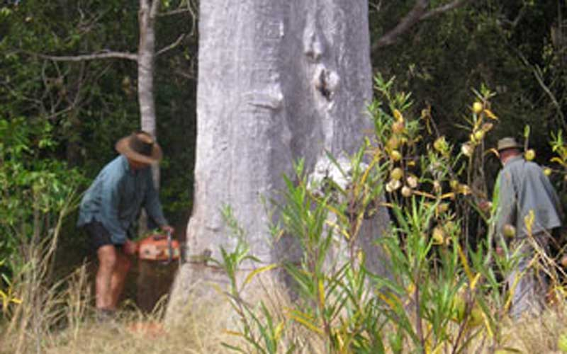 Cutting a very old Blue Gum