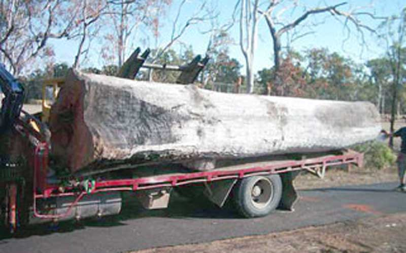 Transporting a very old Blue Gum